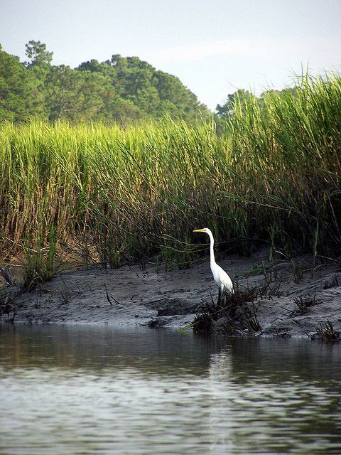 LowCountry Creek  A Great egret stands watch over a Carolina creek at low tide . May River, South Carolina LowCountry.