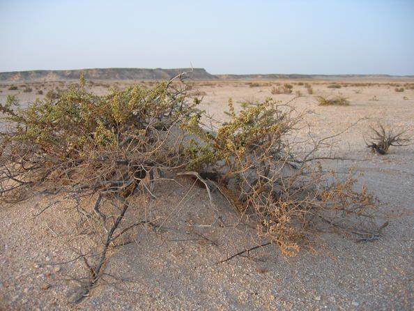 Oman 03 Santuario del Oryx árabe