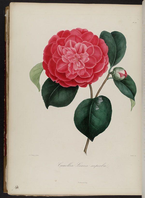 Image of Illustration of Camellia Leeana Superba