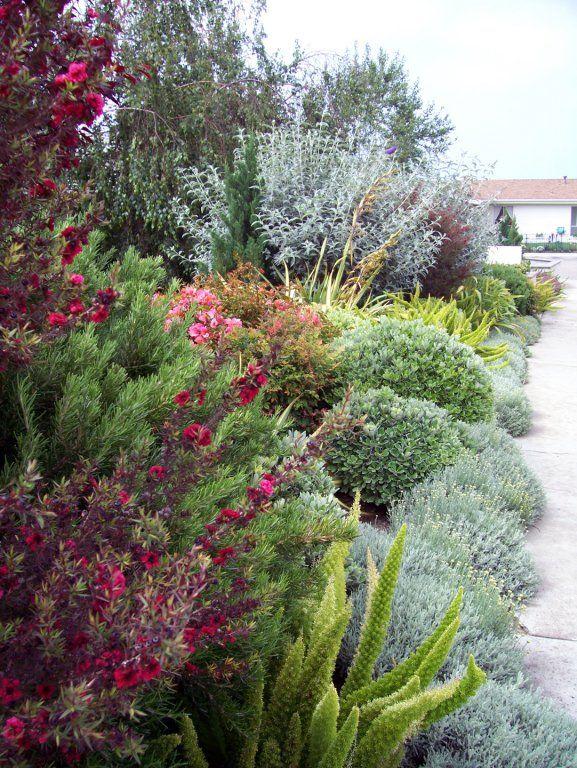 Leptospermum scopularium, Asparagus densiflorus 'Myers', Gray Santolina, Pittosporum crassifolium, Phormium, Buddleja, etc. This colour combo is great!