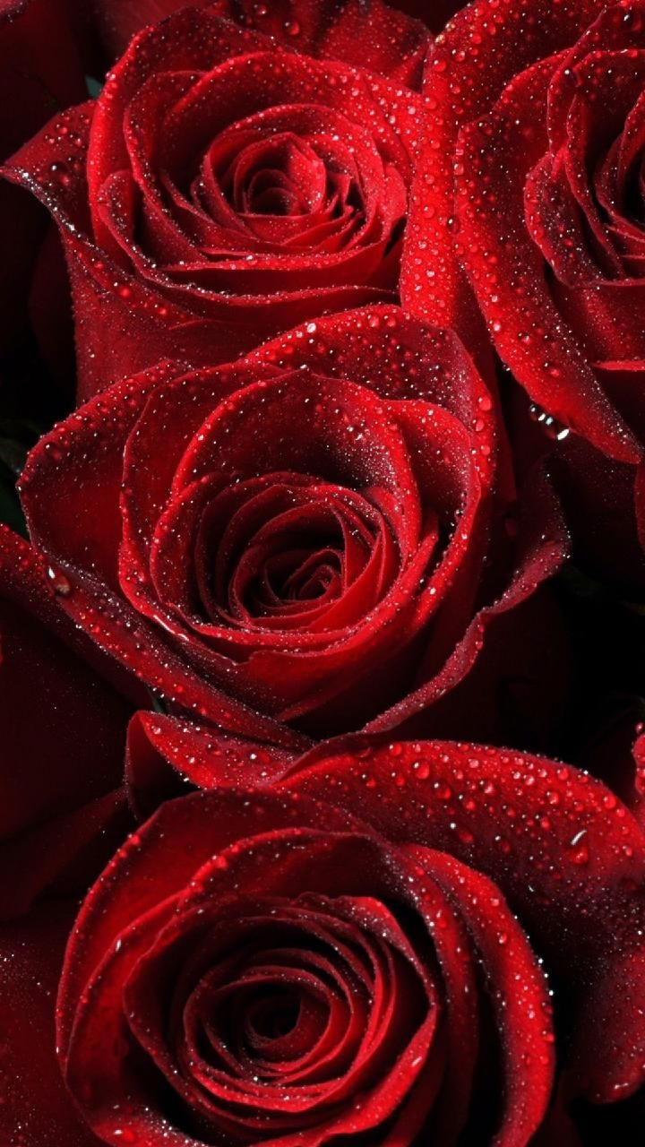 Download Red Roses Wallpaper By Georgekev 50 Free On Zedge Now Browse Millions Of Popular Drops Wallpapers A Red Roses Wallpaper Rose Wallpaper Red Roses