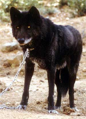 . WOLF HYBRID  Dogs alone can be unpredictable, but when you cross a dog with a wild animal, the potential for aggression and unexpected behavior grows exponentially. This hybrid, though beautiful and exotic, could be dangerous if not careful.