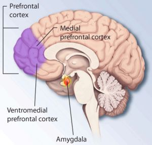 The Amygdala Definition and Functions.  If you are wondering what the heck an amygdala is and why I am including it here, in a panic attacks site, read this, please.