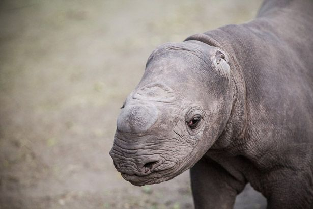 Read about the rescue and rehabilitation of a tiny rhino calf at Mombo whose ears were gnawed off by a hyaena... #conservation