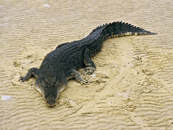the largest crocodilians on Earth, saltwater crocs, or salties