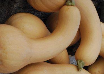 Canada Crookneck- Les fruits font 25-45 cm de longueur. Ils font 10 cm à la base et ont un col soit droit soit recourbé en fonction des fruits. L'épiderme est lisse, de couleur jaune-crème et recouverte d'une sorte de vernis. La chair est de couleur rouge-saumon et de bonne qualité. Les fruits contiennent très peu de graines. Ils peuvent se conserver jusqu'à 3 années.