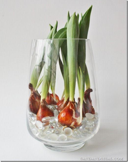GREAT TIP: How to Force Tulip Bulbs in Water via @Kim Wilson -Sand & Sisal