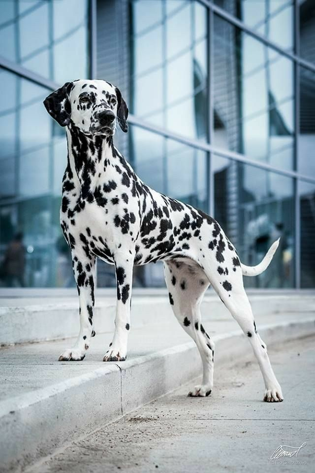 Idea By Alexa Grey On Dogs Lover Dalmatian Dogs Dogs Dog Breeds