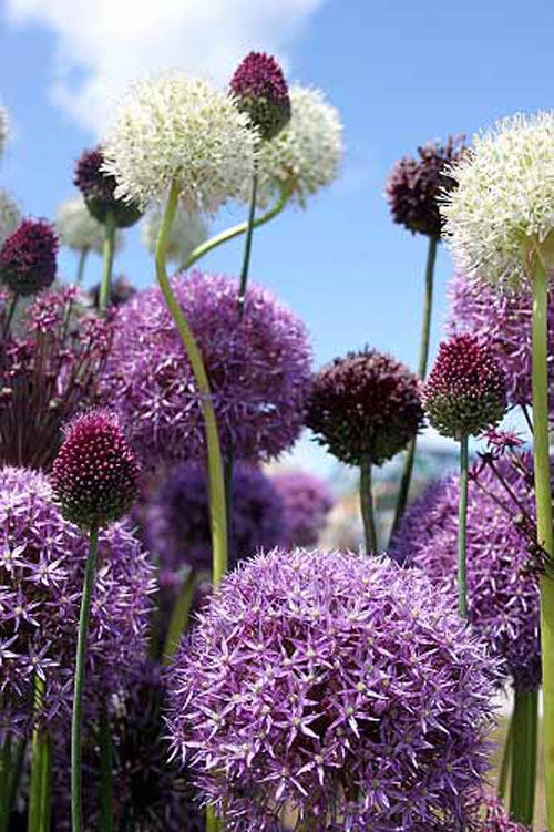 "2011 Hampton Court Palace Flower Show Gold Award Winner ""The Garlic Lover's Garden""    Colin Boswell owner of The Garlic Farm     Paul Barney of Edulis, designerRHS   >includes: drumstick onion or Allium"