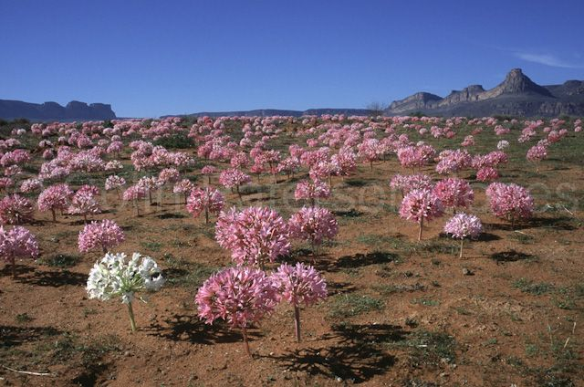 Candelabra Flowers, Brunsvigia bosmaniae, flowering en masse after good autumn rains on the Knersvlakte in Namaqualand with Gifberg beyond, Northern Cape, South Africa.