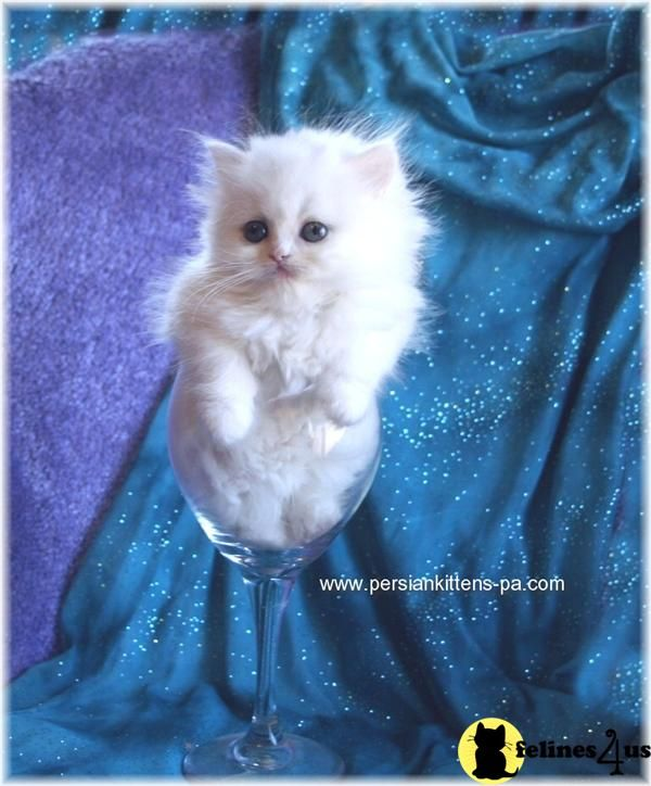 White persian kittens with green eyes for sale