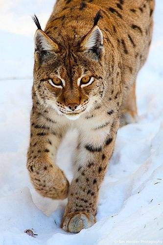 Eurasian Lynx (Lynx lynx) by Bas Meelker, via Flickr