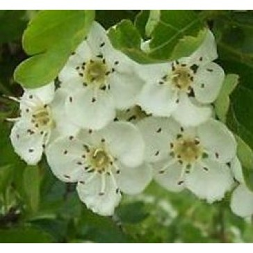 Galagonya virág-Crataegus monogyna,gyógynövény,nagyobb méretű cserje vagy kisebb fa,magassága 5-8 méter,igénytelen szárazságtűrő növény(680 Ft/9*9cm cserép,szállitási méret 40-50 cm)