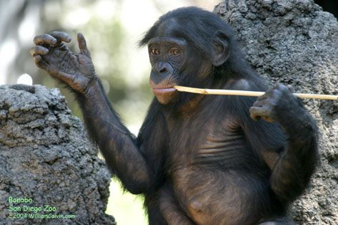 The Bonobo Page (Prof. W. H. Calvin) University of Washington
