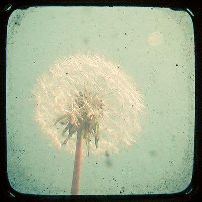 love me some dandelions.Nature Photography Flower, Canvas Projects, Canvas Prints, Childhood Memories, Dandelions Tattoo, Art Prints, Dandelions Clocks, Dandelions Art, Frames Art