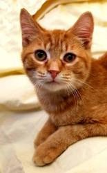 Butterscotch is an adoptable Domestic Short Hair-Orange Cat in Terre Haute, IN. Butterscotch was born around July 20, 2010. He was found abandoned in a grocery cart in the parking lot of a grocery sto...