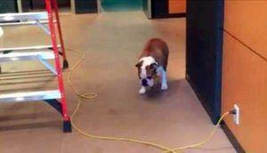 El bulldog tenía miedo de caminar sobre los cables - no podrá evitar reírse de su inteligente solución