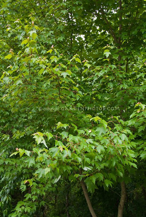 Red maple tree, Acer rubrum in spring