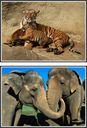 Samtalsbilder - Asiens djur