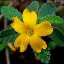 Damiana: planta medicinal para depresión, infertilidad, astenia, cistitis o menopausia ecoagricultor.com