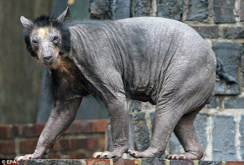 FURLESS BEAR! Most animals get funnier when shaved, not a bear! They turn into the creepiest things on earth! Like your trapped on a nightmare that keeps playing over and over again and you can't escape!