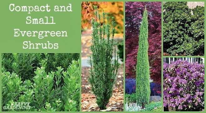Small Evergreen Shrubs For Year Round Interest In Yards And Gardens Evergreen Shrubs Small Evergreen Shrubs Garden Shrubs