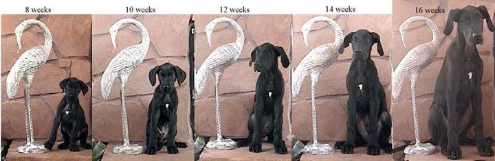 Great Dane puppy growth is no joke!    From Gentle Giants Rescue.  #GreatDane #puppy