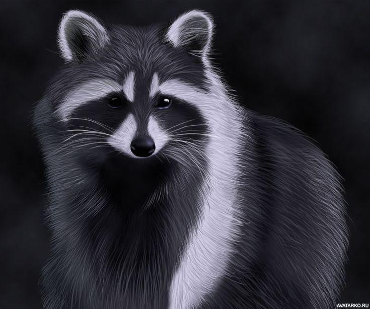 Енот черно белые картинки