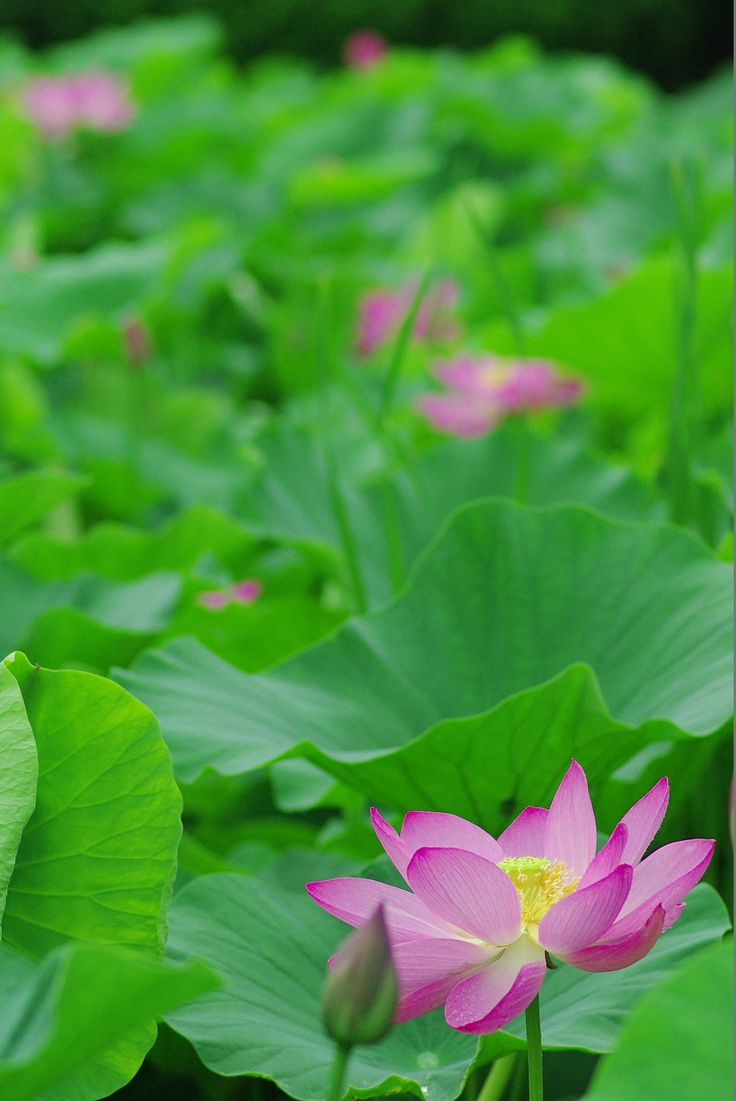 763 best lotus images on pinterest lotus flowers lotus flower and lotus by yasuhiro bb on 500px izmirmasajfo Image collections