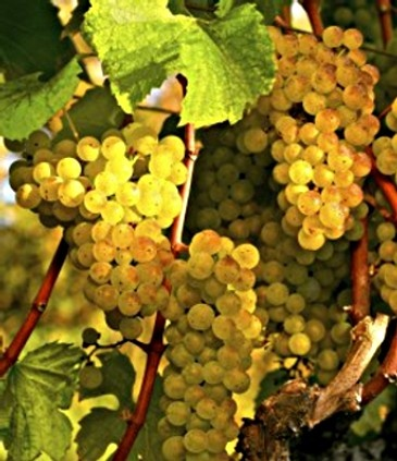 Grapes Vine ...