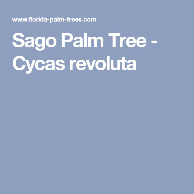 Sago Palm Tree - Cycas revoluta