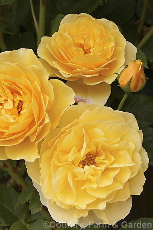 Rosa 'Graham Thomas', (seedling × ['Charles Austin' × 'Iceberg' seedling]), a very fragrant English rose raised by David Austin of England and introduced in 1983.