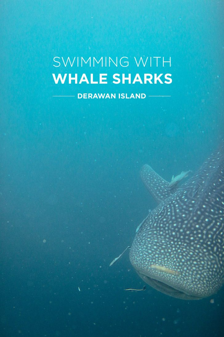 Swimming with Whale Sharks at Derawan Island Indonesia | Local Adventurer | Bloglovin'