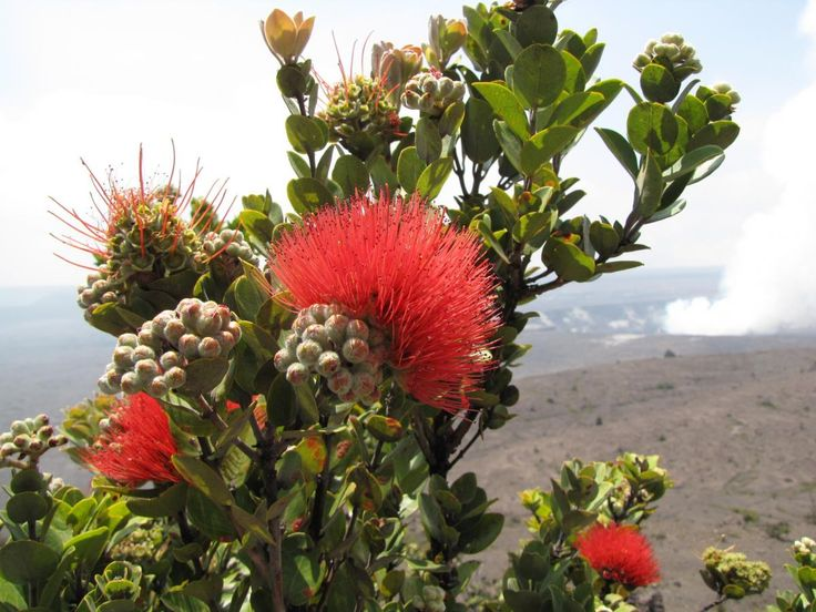 Tropical Island Flowers: 41 Best Native Hawaii Birds And Plants Images On Pinterest