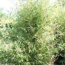 Phyllostachys aurea Phyllostachys Aurea (i) Golden Bamboo - 18 litres