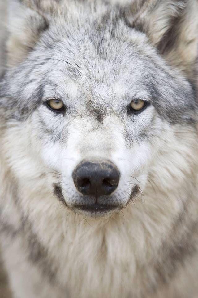 Que lobo mais lindo gente. *m*