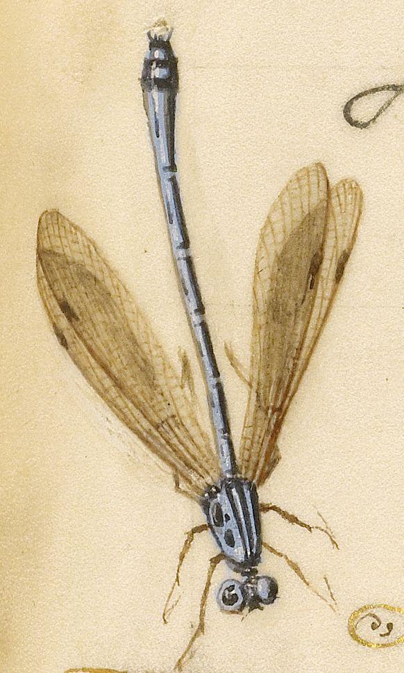 Damselfly, Insect, and Marine Mollusks (detail), Joris Hoefnagel, Georg Bocskay, 1591-96, script 1561-62