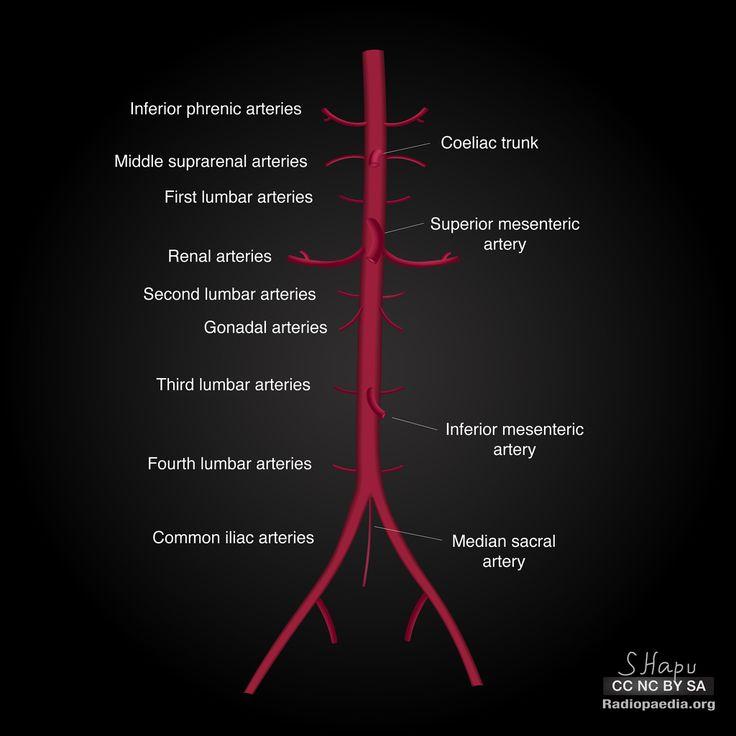 Abdominal aorta: diagrams   Radiology Case   Radiopaedia.org