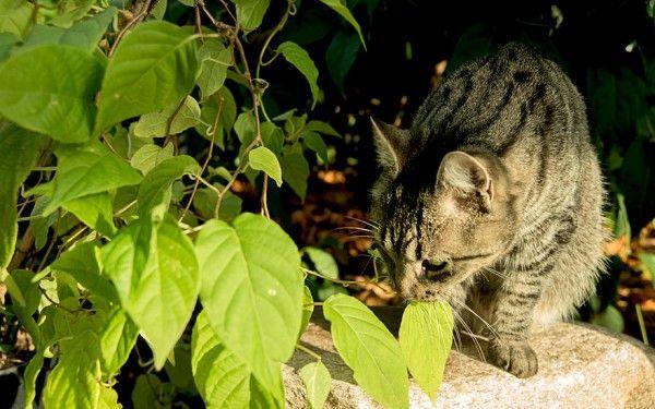 Weshalb Katzenkrauter Katzen Mogen Bestimmte Krauter Und Sind Offensichtlich Glucklich Mit Diesen Krautern Wie Man An Katzengarten Kletterpflanzen Pflanzen
