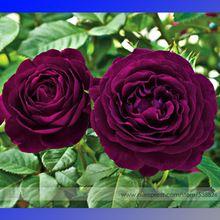 A herança sementes de flores roxo exotic, Professional pacote, 50 sementes / pack, Flores do jardim luz perfumado # NF760(China (Mainland))