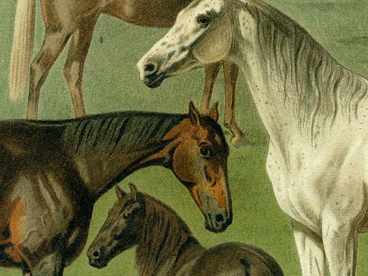 Detail obrazu starých plemen koní.