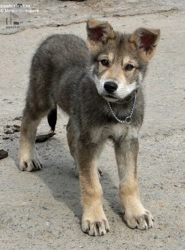 Saarloosov vlčiak Wolf hybrid dogs