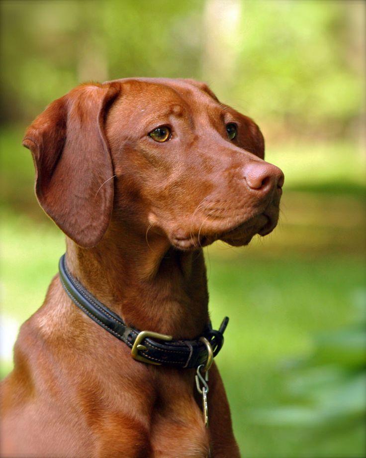 El Braco Húngaro de Pelo Corto, más conocido como Vizsla, es un perro de muestra que reúne muchas de las cualidades del Pointer y del Braco Alemán: es veloz, tiene un olfato muy sensible, sigue rastros sin problemas, es rápido en encontrar la presa y es capaz de cobrar de un modo perfecto.