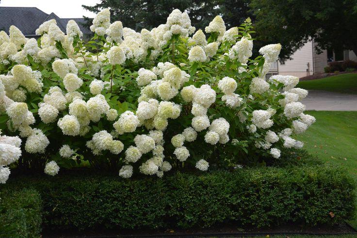 Hydrangea Limelight Dirt Simple Garden Works