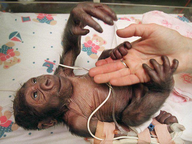 Yakini creciendo en la incubadora después de un parto con cesárea