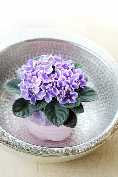 Saintpaulia / Kaaps viooltje