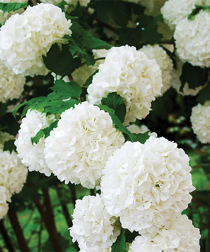 Take a look at this Chinese Snowball Viburnum Root Stock today!