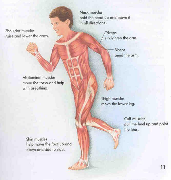 best 25+ human body muscles ideas on pinterest | natural healing, Muscles
