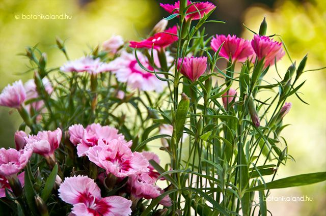 Kínai Szegfű (Dianthus Chinensis) gondozása, szaporítása