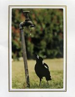 """Photo enlargement of """"Catch A Drop"""" Australian Magpie, measuring 8"""" x 6"""" in a soft frame. You can buy this photo enlargement for $15.95 delivered. www.theshortcollection.com.au/page/photo-enlargement-small"""